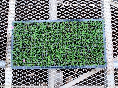 四季咲きナデシコ セル成型苗 セル苗