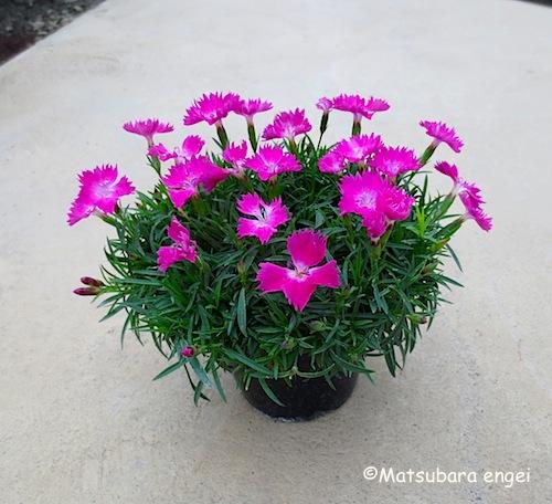 四季咲きナデシコ ポット苗