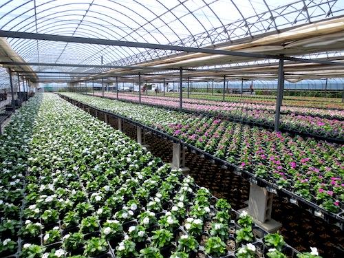 ニチニチソウ タイタンシリーズ Catharanthus roseus