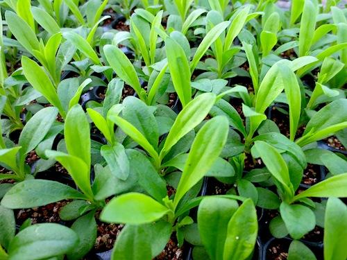 ナデシコ ダイアンサス Dianthus テルスター セル成型苗 セル苗