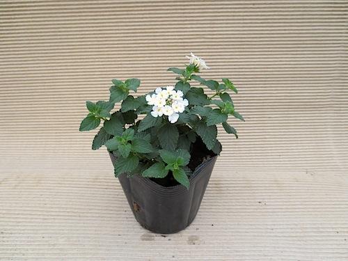 白花 コバノランタナ クマツヅラ科 Lantana monteviensis