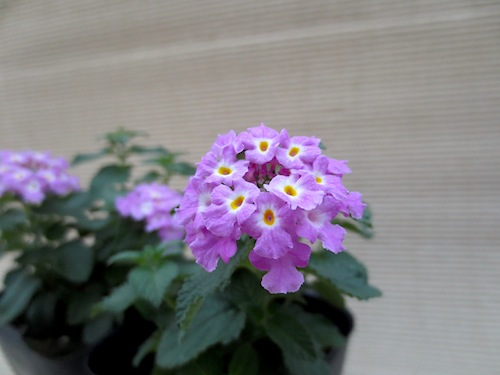 紫花 コバノランタナ(クマツヅラ科 Lantana monteviensis)