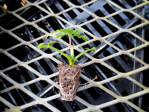 キク科 Bidens laevis ウィンターコスモス セル成型苗 セル苗 挿し芽