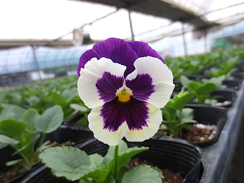 パンジー デルタプレミアム  バイオレット&ホワイト Pansy Delta Premium Violet/White