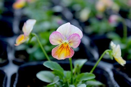 ビオラ 花の写真 ビビ ピンクアンティーク Viola