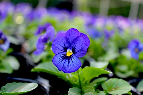 ビオラ 花の写真 ペニー ディープブルー Viola