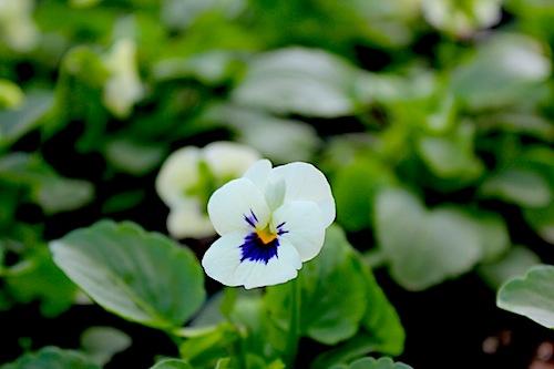 ビオラ 花の写真 ペニー ホワイトブロッチ Viola
