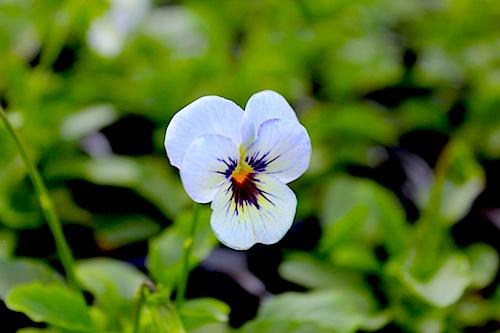 フローラルパワースーパー スカイブルーブロッチ ビオラ 花の写真 Viola