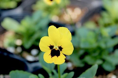 フローラルパワー イエローウィズブロッチ ビオラ 花の写真 Viola