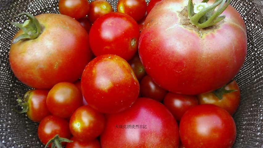 20130717__トマト_収穫