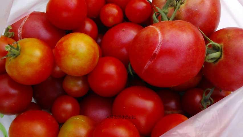 20130807_トマト_収穫