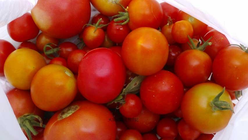 20130823_トマト_収穫