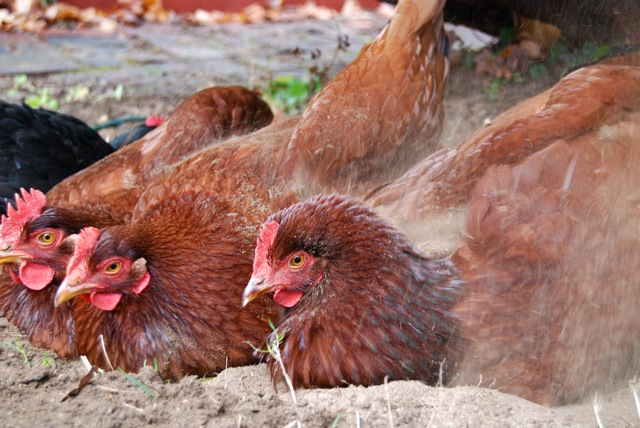 Chickens-dust-bathing-.jpg