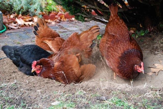 Chickens-dust-bathing.jpg
