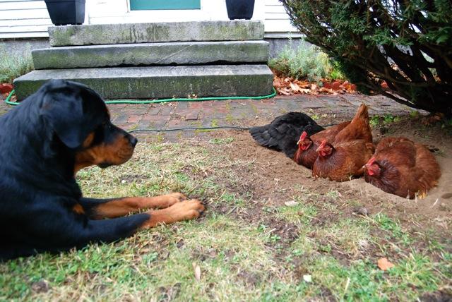 Roxy-watching-the-chickens-bathing-.jpg