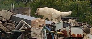 ホワイトスイスシェパード★ジャンゴ★災害救助犬
