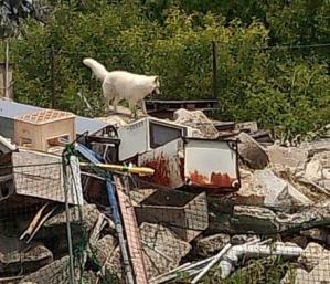 ホワイトスイスシェパード★ジャンゴ★災害救助犬試験