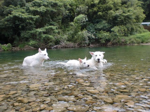 ホワイトスイスシェパード★エース★2011年8月初泳ぎ