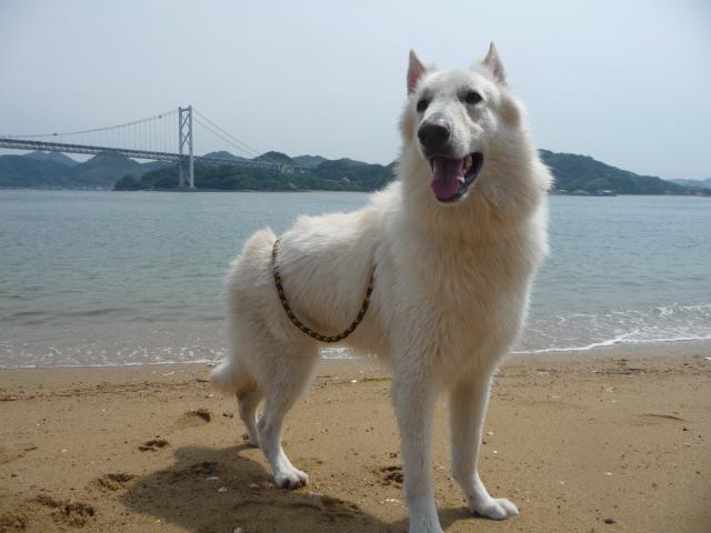 ホワイトスイスシェパード★エース★2013年浜辺