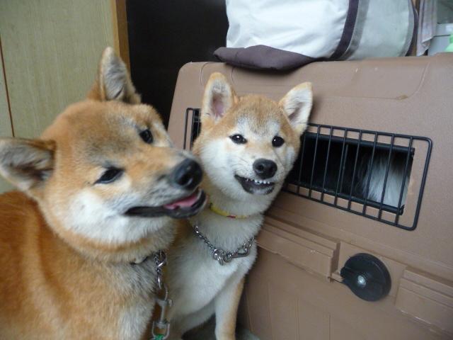 仲良しの兄弟柴犬