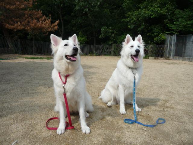 ホワイトスイスシェパード★リサ★(左)と★マロ★(右)