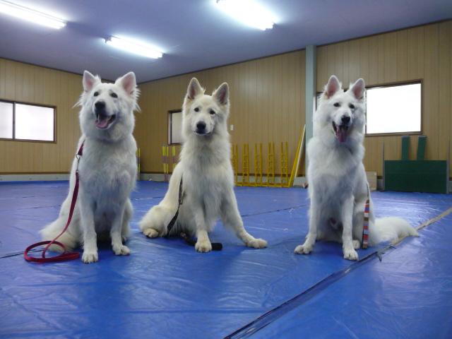 ホワイトスイスシェパード★リサ★(母犬)&★ジャンゴ★(父犬)&★マロ★