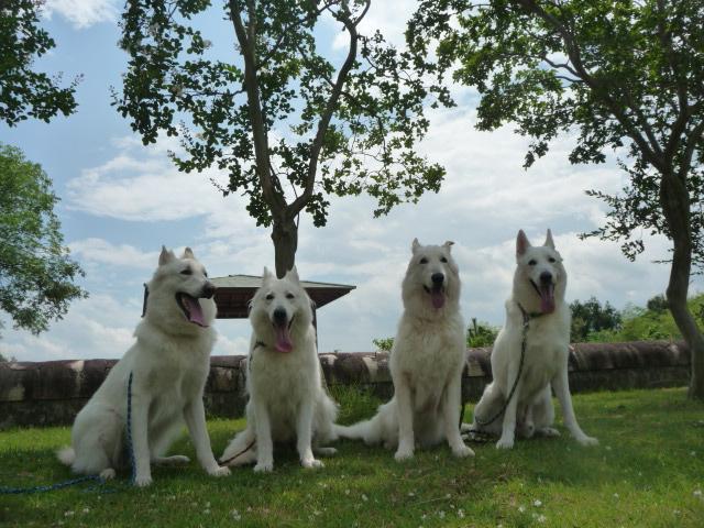 我が家のホワイトスイスシェパード4匹
