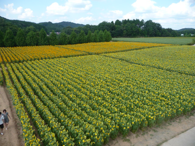 たくさんのひまわりに囲まれたひまわり畑