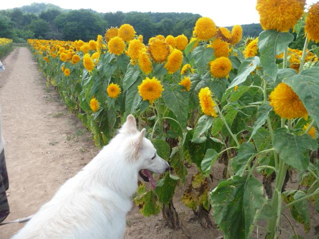 エ)『これもひまわりの花?』