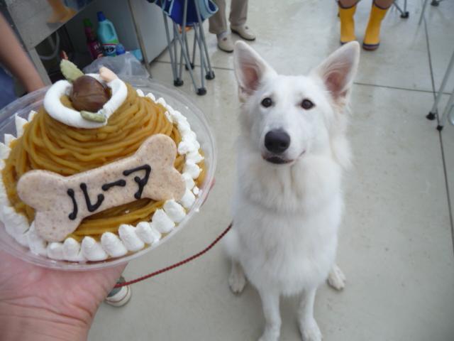 ホワイトスイスシェパード★ルーア★1歳お誕生日おめでとう