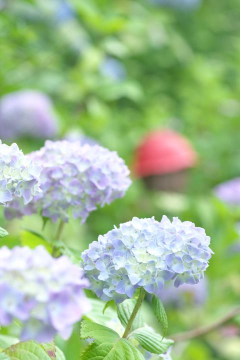 あさひ製菓紫陽花3