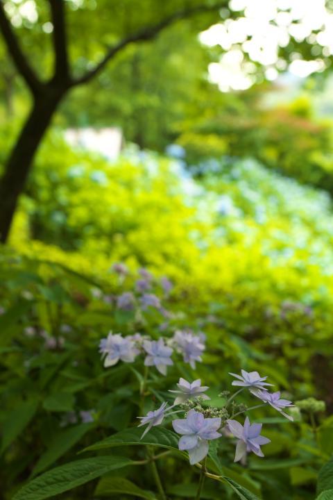 あさひ製菓紫陽花1