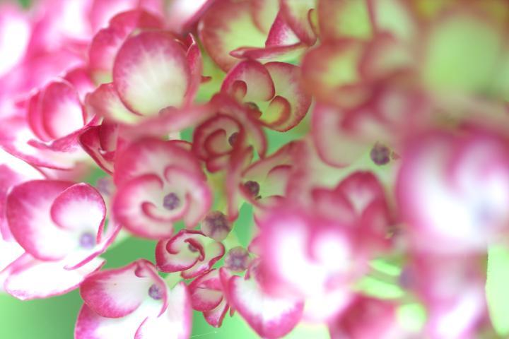 あさひ製菓紫陽花6