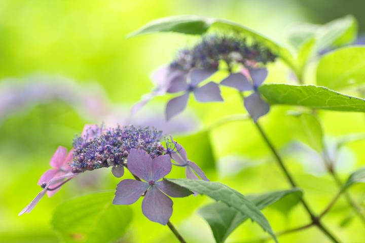あさひ製菓紫陽花7