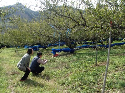 梅の木を見る両親