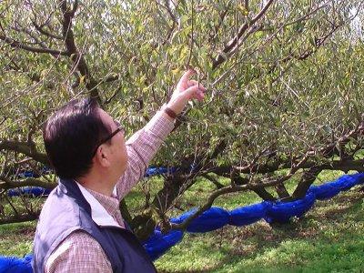 梅の木を見る父