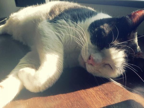虎太昼寝。