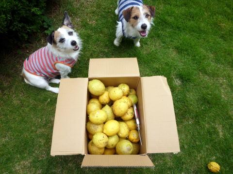 レモンの収穫(4)
