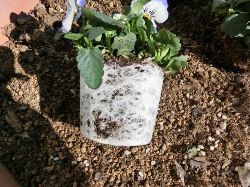 ビオラの鉢植え1
