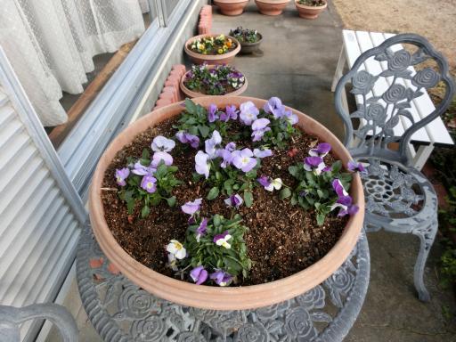 ビオラの鉢植え2