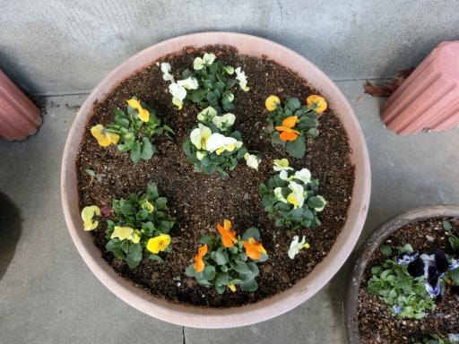 ビオラの鉢植え3
