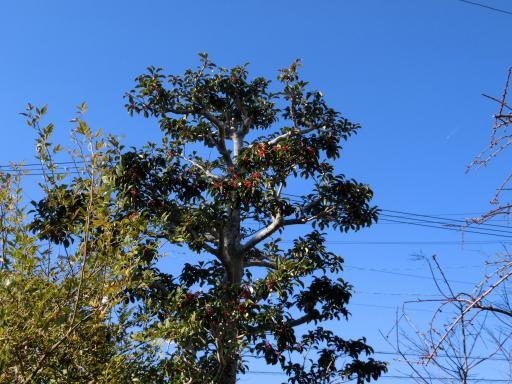 モチの木1