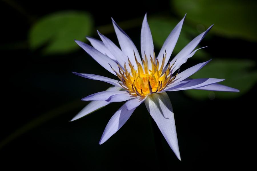 神代植物公園睡蓮__02