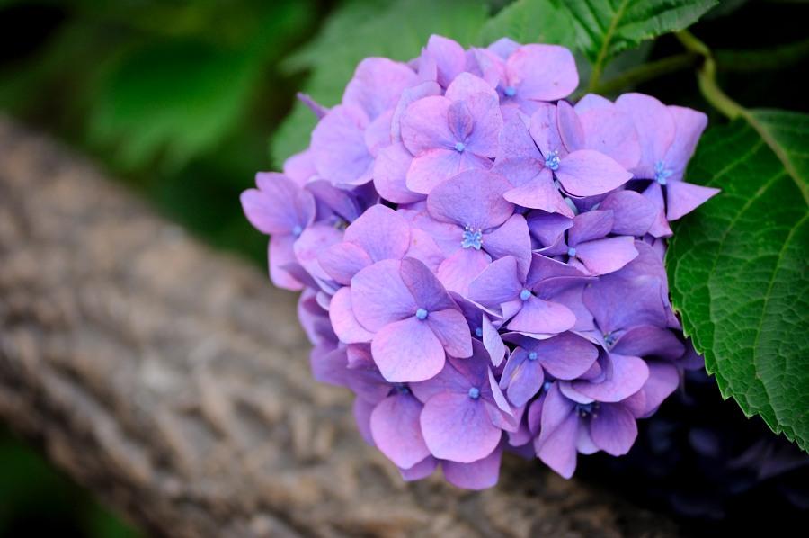 紫陽花__02