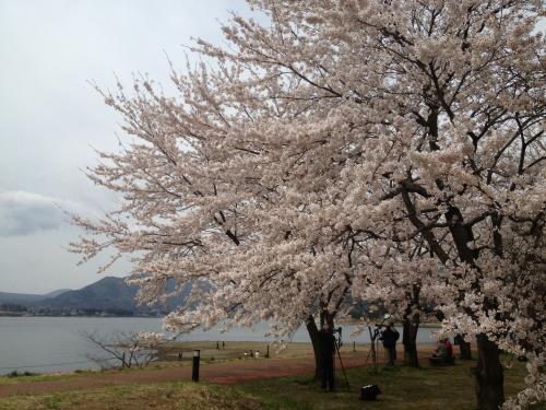 河口湖の桜(2)