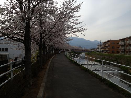 貢川桜並木(2)
