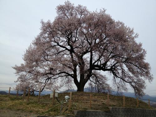 わに塚の桜(2)