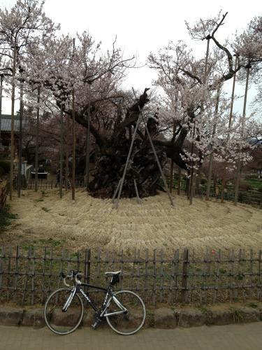 神代桜(2)