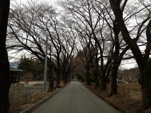 真原桜並木(2)