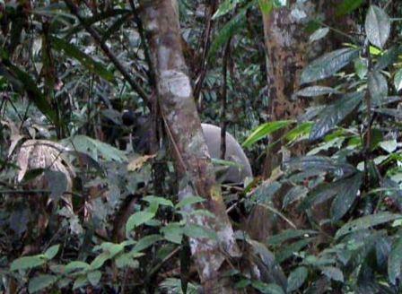 tapir01.jpg